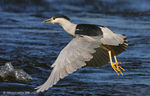Title: Nycticorax nycticorax